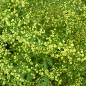 50 Kanna (Sceletium tortuosum) Seeds – Our Sacred Garden