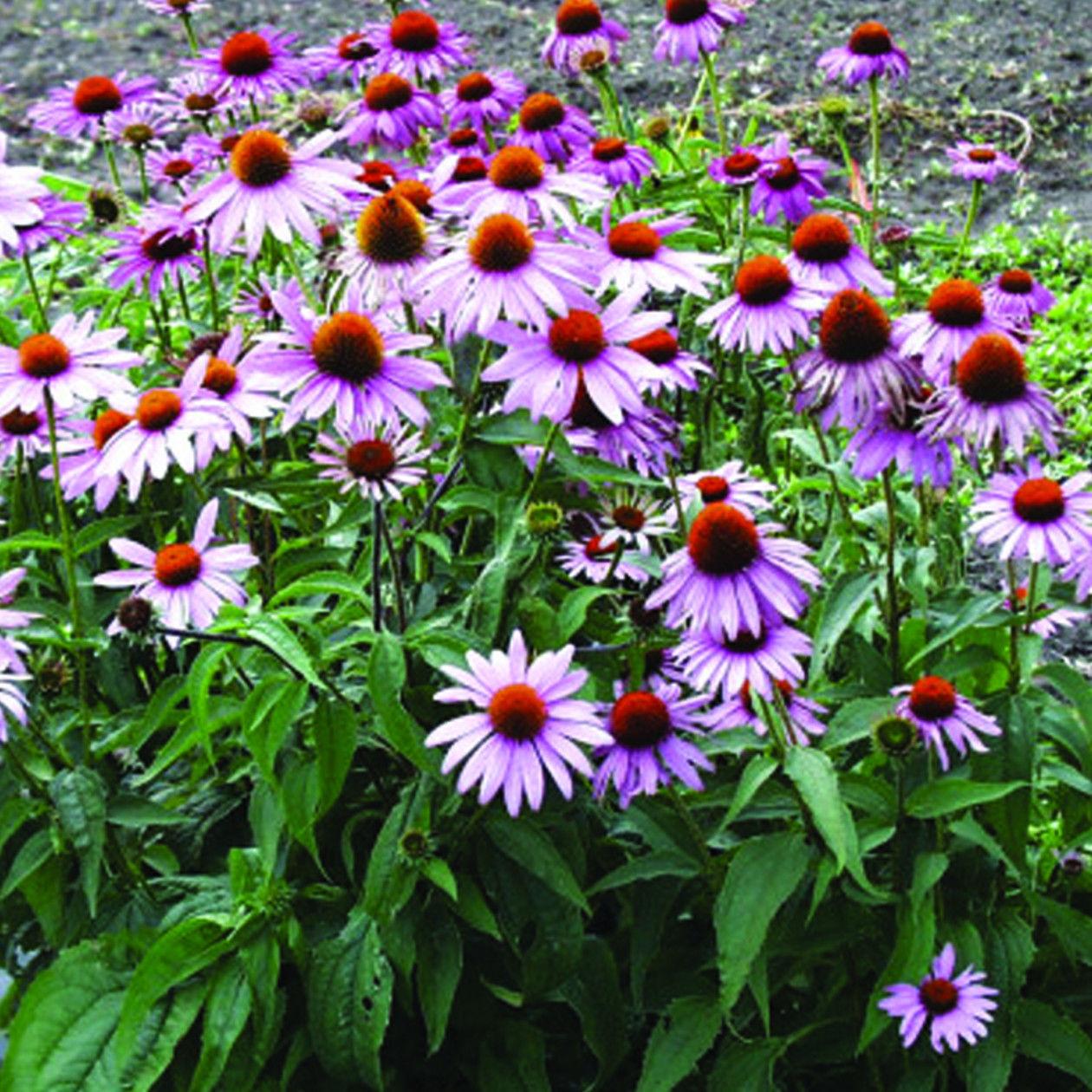 250 Purple Coneflower Seeds Echinacea Purpurea Organic Our